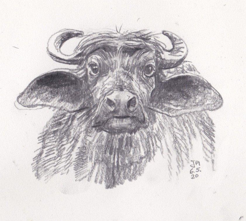 indian-buffalo-draw