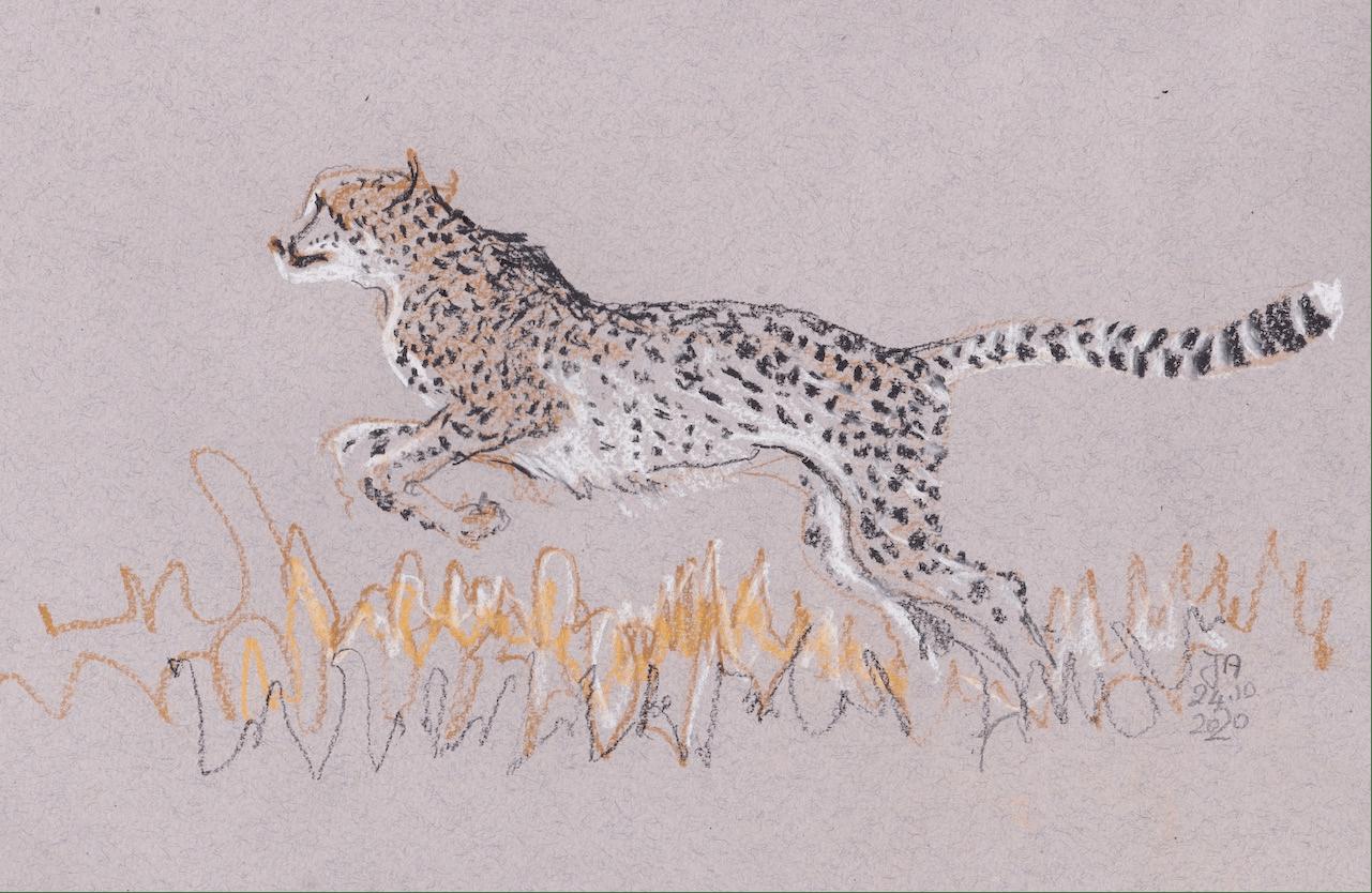cheetah28