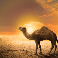 Camel on the sand dunes at sunset. Heat wave concept